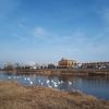北上川・明治橋下に白鳥が飛来。
