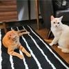 保護猫だいずの家慣れ大作戦 6月1日~6月8日編