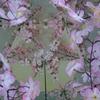 桜スマイル2