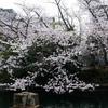 親水公園吊り橋前の桜