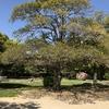 広島城内にあります「被爆樹木クロガネモチ」です。
