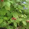 ラズベリーの収穫は時期がバラバラ