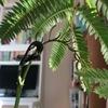 エバーフレッシュの開花(エバーフレッシュの新芽はあの生き物に似ている)