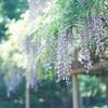金蛇水神社で九龍の藤を愛でる