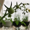 ミニトマトに着果、ナスを摘果、ピーマンは摘花!