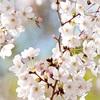 東寺の桜2019 見ごろは?見頃時期などの開花情報・夜桜ライトアップ