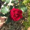 赤いバラも結構いい。