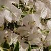 ブーゲンビリア 白