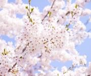 安倍首相の桜を見る会に「中止すべき」の声殺到 「ももクロ」にも批判の矛先が