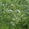 オカトラノオ~暑くなってきた草原
