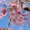 枝垂れ桜を切ってしまったその後🌸(・Θ・。)
