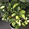 ベランダの柑橘類