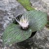 ☆新商品入荷☆南アフリカ原産の奇妙な植物「マッソニア」など