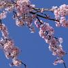 手賀沼遊歩道の桜