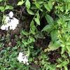 オクラのつぼみ、花、実・・・花が咲かないのは? & 自作シルバーマルチ効果は凄かった!