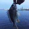 名古屋港:野跡エリアさくっと釣行
