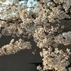 【禁酒141日目】桜と不吉の民間伝承