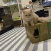初めて猫を飼います!(賃貸で・ブリーダーから)