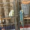 インコの雛の鳥かごデビュー