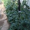 野菜類が大きく成長してきました。