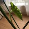 モンステラに新しい葉!綺麗にたくさんの穴が開いてます!