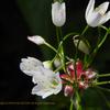 アリウムロゼウム Allium roseum