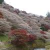 【絶景紅葉スポット】紅葉と桜が一度に楽しめる 小原の四季桜