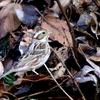 枯葉の間のカシラダカ