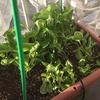 ベランダ菜園と台風の影響
