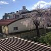 4976 枝垂れた桜