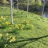 イギリスで春の訪れを伝える花はラッパスイセン