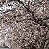 令和3年 勤行川桜づつみの桜並木