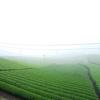 朝霧に包まれる茶畑