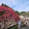 月川温泉郷「花桃の里」に行ってきました