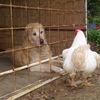 シニア犬の介護:ゴールデンの介護
