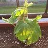 グリーンカーテン3年目の苗植え