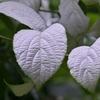 白い葉と花