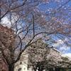 桜の開花状況 浅草 2018/3/23