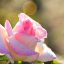 rose diary