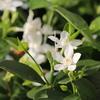 夏は、涼しい白い花~ セイロンライティア♪