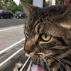 【エムPの昨日夢叶(ゆめかな)】第1921回『四ツ谷駅前で散歩する猫「エメラルド」くんに遭遇した夢叶なのだ!?』[6月3日]
