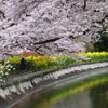 山科疎水・毘沙門堂の桜@京都