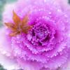 冬のバラのような