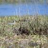 秋の渡り ホウロクシギ