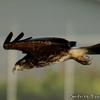 いつも飛んでいる Snail Kite (スネイルカイト)