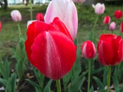 シンボルプロムナード公園ランニング〜チューリップがまだ綺麗に咲いていました〜