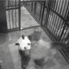 上野動物園のパンダ「シンシン」、5年ぶり出産