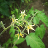 ミニトマトを移植