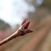 冬芽のタイプ 鱗芽(りんが)
