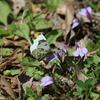 4/13/2019・次男と明日香村の里山あるき、ツマキチョウがいっぱいでした